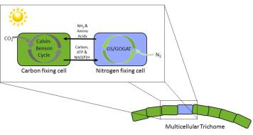 T. erythraeum's cell types specialize in nitrogen and carbon fixing and transact within filaments.
